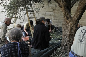 Picking through the olives. Photo by ELLEN DAVIDSON