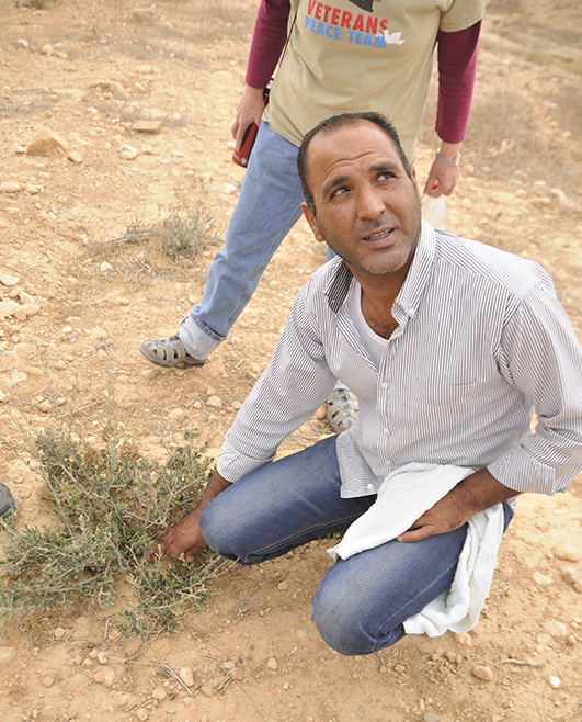 Aziz Al-Toury shows how the olive trees are growing back after being bulldozed. Photo by ELLEN DAVIDSON