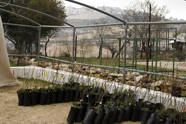 Trees ready for planting. Daoud says that for every tree the settlers uproot, they try to plant two replacements. PHOTO: ELLEN DAVIDSON